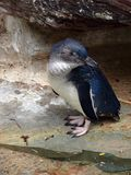 Pingüino de hadas imágenes de archivo libres de regalías