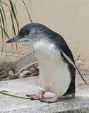 Pingüino de hadas (menor de edad de Eudyptula) Foto de archivo