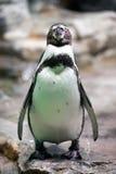 Pingüino de Humboldt Foto de archivo libre de regalías