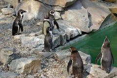 Pingüino de Humboldt Imagen de archivo libre de regalías