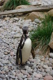 Pingüino de Humboldt en el parque zoológico Imagen de archivo