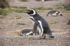 Pingüino de Humboldt en la colonia que camina y que llama imagen de archivo