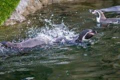 Pingüino de Humboldt, parque zoológico de Calgary, Calgary, Alberta, Canadá imagen de archivo libre de regalías
