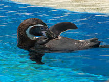 Pingüino de Humbolt Foto de archivo libre de regalías