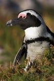 Pingüino de #22 Fotos de archivo libres de regalías