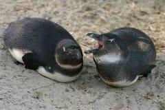 Pingüino de Jackass Imagenes de archivo