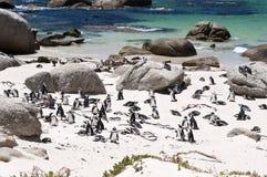 Pingüino de Jackass Foto de archivo