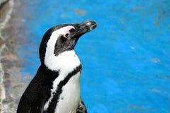 Pingüino de africano Fotografía de archivo