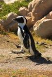 Pingüino de Jackass (Spheniscus de Demersus) Fotos de archivo libres de regalías