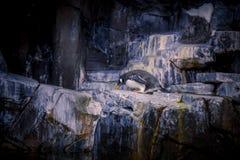 Pingüino de la Florida del mundo del mar Fotos de archivo
