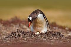 Pingüino de la jerarquización en el prado Pingüino en los huevos del ingenio dos de la jerarquía, Falkland Islands de Gentoo Comp Fotos de archivo libres de regalías