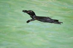 Pingüino de la natación Imágenes de archivo libres de regalías