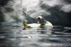Pingüino de la natación fotos de archivo