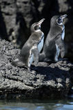 Pingüino de las Islas Gal3apagos Imágenes de archivo libres de regalías