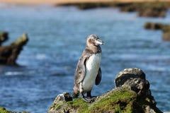 Pingüino de las Islas Gal3apagos Fotografía de archivo