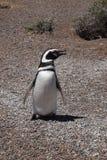 Pingüino de Magellan Foto de archivo libre de regalías