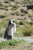 Pingüino de Magellan en orilla Imagen de archivo