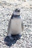 Pingüino de Magellan, Patagonia la Argentina foto de archivo libre de regalías