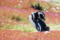 Pingüino de Magellan que se sienta en el prado floreciente Foto de archivo