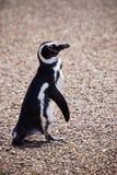 Pingüino de Magellanic Imagen de archivo libre de regalías