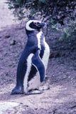 Pingüino de Magellanic en la península Valdes - la Argentina Imágenes de archivo libres de regalías