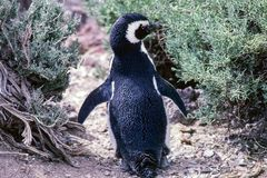 Pingüino de Magellanic en la península Valdes - la Argentina Imagen de archivo libre de regalías