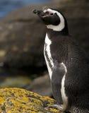 Pingüino de Magellanic en las rocas Fotografía de archivo