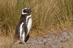 Pingüino de Magellanic en Patagonia Foto de archivo