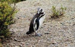 Pingüino de Magellanic en una orilla Fotografía de archivo libre de regalías