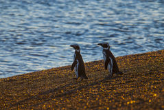 Pingüino de Magellanic, Patagonia, la Argentina Foto de archivo