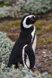 Pingüino de Magellanic que se coloca en los mechones florecientes de la tundra Fotografía de archivo libre de regalías