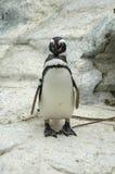 Pingüino de Magellenic Foto de archivo libre de regalías