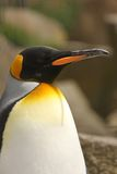 Pingüino de rey Imagen de archivo