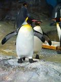 Pingüino de rey foto de archivo