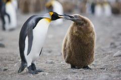 Pingüino de rey adulto y joven Fotografía de archivo