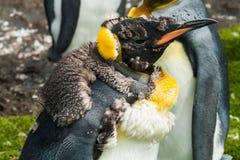 Pingüino de rey del polluelo después de mudar Foto de archivo