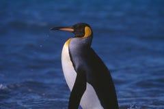 Pingüino de rey en la Antártida Imagen de archivo
