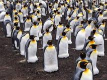 Pingüino de rey grande de la colonia de la jerarquización, patagonicus del Aptenodytes, punto voluntario, Falkland Islands - Malv Fotografía de archivo libre de regalías