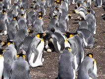 Pingüino de rey grande de la colonia de la jerarquización, patagonicus del Aptenodytes, punto voluntario, Falkland Islands - Malv Imagen de archivo