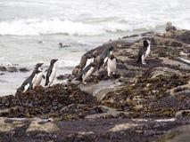 Pingüino de Rockhopper, chrysocome del Eudyptes, isla de receptores acústicos, Falkland Islands-Malvinas Imágenes de archivo libres de regalías
