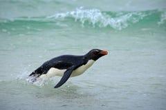 Pingüino de Rockhopper, chrysocome del Eudyptes, swinmin en el agua, ondas antedichas del vuelo, pájaro de mar blanco y negro, ma fotografía de archivo