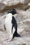 Pingüino de Rockhopper - Islas Malvinas Foto de archivo libre de regalías