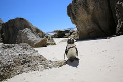 Pingüino de zopenco Foto de archivo libre de regalías