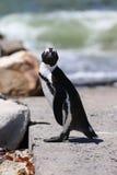 Pingüino de zopenco Foto de archivo