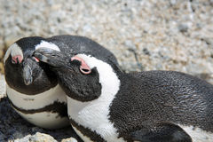 Pingüino de zopenco Fotografía de archivo