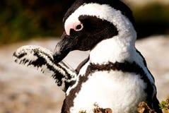 Pingüino del asno de Gato Fotografía de archivo