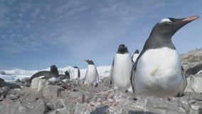 Pingüino del gentoo de la Antártida en primer de la jerarquía del guijarro metrajes