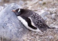 Pingüino el dormir Gentoo Imagen de archivo libre de regalías