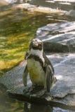 Pingüino en el parque zoológico Fotos de archivo libres de regalías