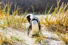 Pingüino en la hierba en colonia del pingüino de los cantos rodados Imagen de archivo